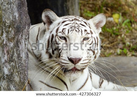 White tiger:Close up,select focus with shallow depth of field.