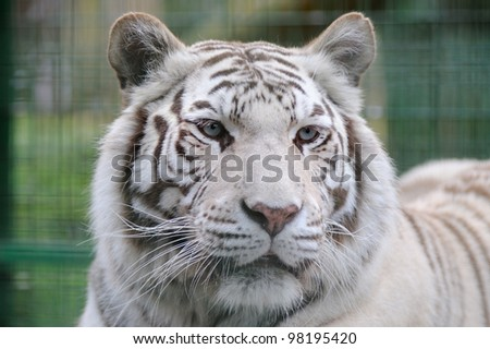 White tiger close-up with blue eyes - stock photo