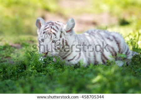 white tiger cub lying down outdoors - stock photo