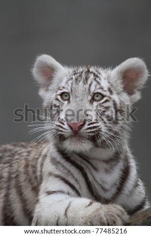 White tiger cub portrait - stock photo