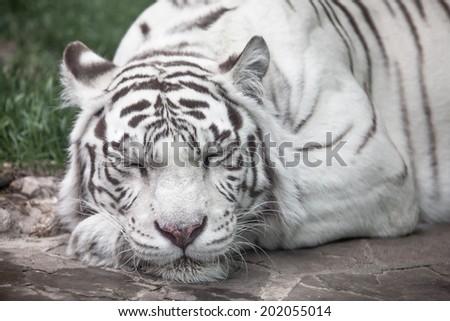 white tiger full face portrait. sleep - stock photo