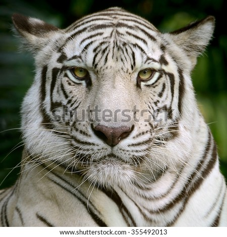 White Tiger head focus at face and eyes