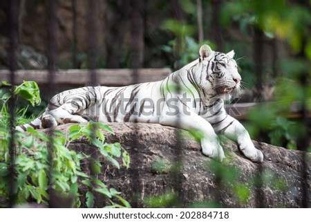 White tiger in a cage at the zoo. - stock photo