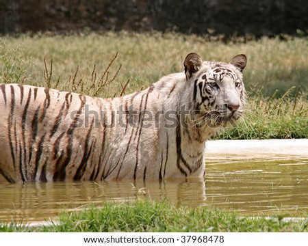 White Tiger in a water pool - stock photo