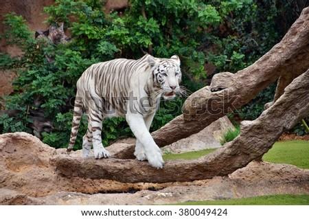 White tiger in captivity - stock photo