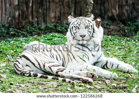 white tiger in nightsafari chiangmai Thailand - stock photo