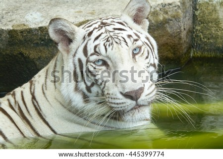 White Tiger in pool,select focus with shallow depth of field.