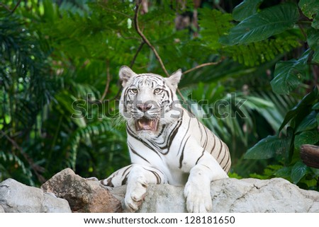 White tiger in sit down action in the zoo - stock photo