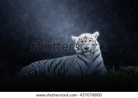 White tiger in the rains. - stock photo