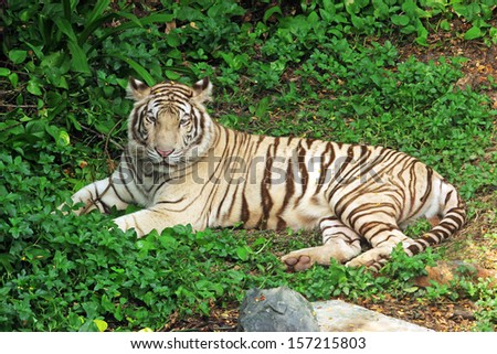 White tiger in the wild