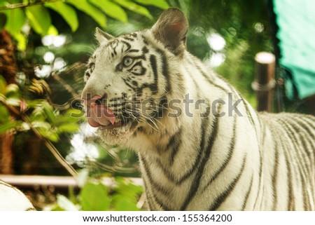 White tiger in wild - stock photo