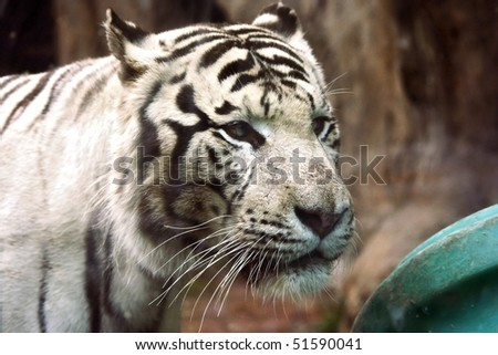White tiger in zoo #1