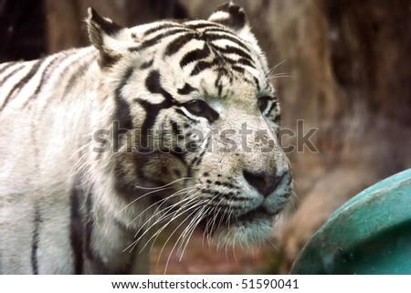 White tiger in zoo #1 - stock photo