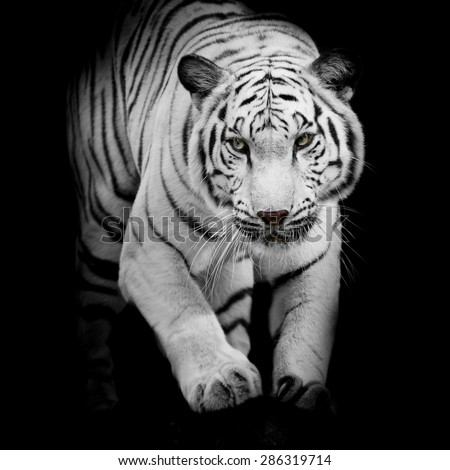 White tiger jumping isolated on black background - stock photo