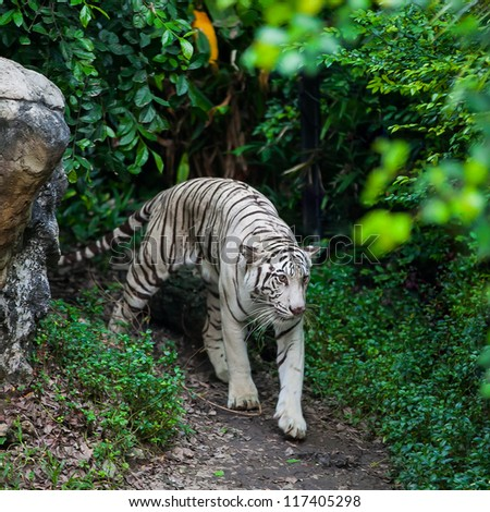 white tiger lying in the park - stock photo