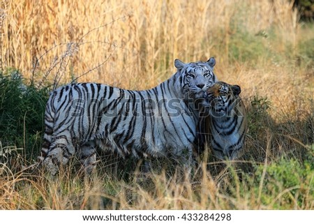 White Tiger mother with its cub