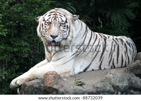 White tiger on the big stone in forest - stock photo