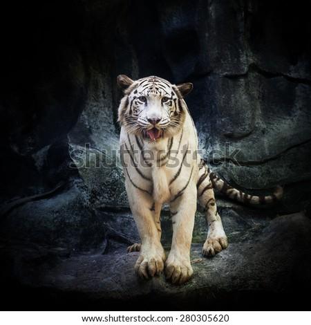 White Tiger on the rock - stock photo