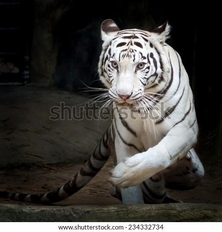 White tiger (Panthera tigris) - stock photo