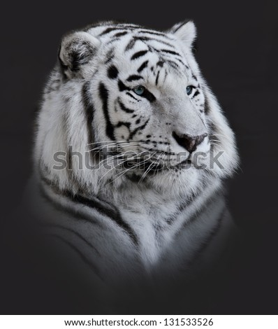 White  Tiger Portrait On Dark Background