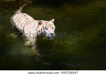 White tiger prowls in clean water