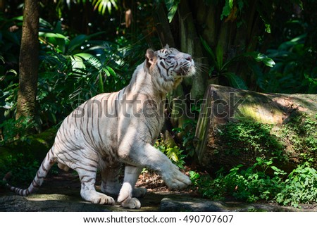White tiger prowls in green forest and get ready to jump up