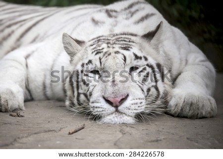 White tiger relaxing and sleeping on the rock. - stock photo