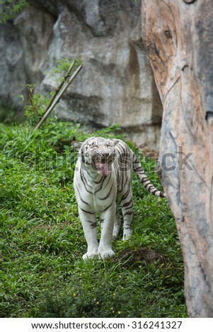 White tiger relaxing in zoo