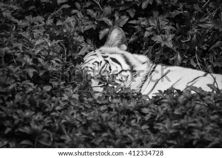 White tiger relaxing in zoo.  black and white - stock photo