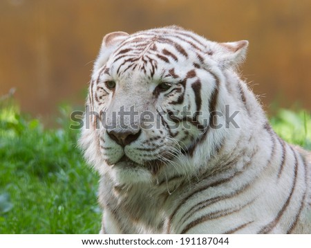 White tiger resting in it's natural habitat