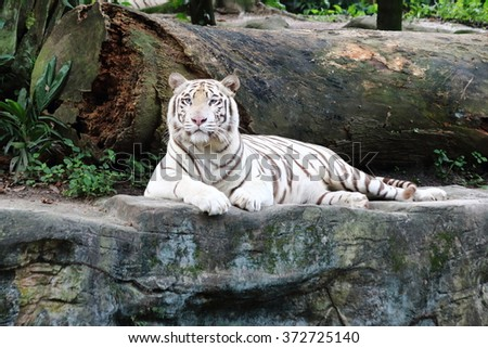 White tiger resting on a rock, looking forward