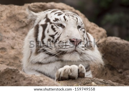 White tiger resting with paw on rock - stock photo