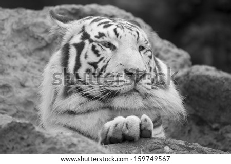 White tiger resting with paw on rock in black and white