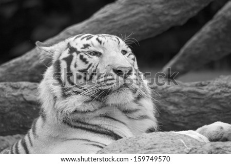 White tiger resting with paw on rock in black and white - stock photo