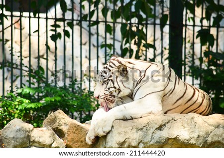 white tiger sitting on the rock in the zoo - stock photo