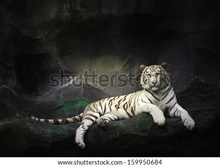 WHITE TIGER sleep on a rock - stock photo