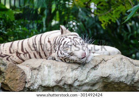 white tiger sleeping on a rock - stock photo