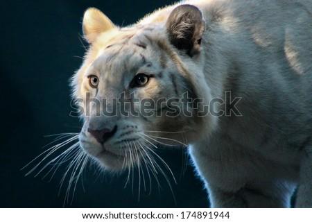 White Tiger Stalking - stock photo