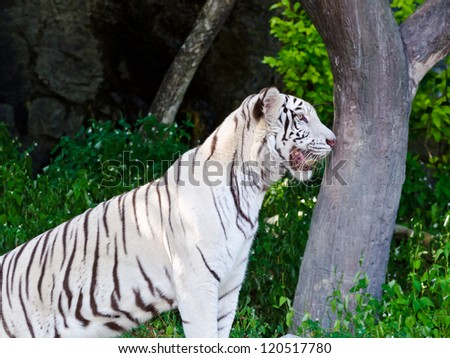 White Tiger. stare with their curiosity. - stock photo