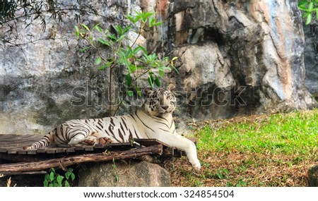 White tiger stripes on selected focus - stock photo