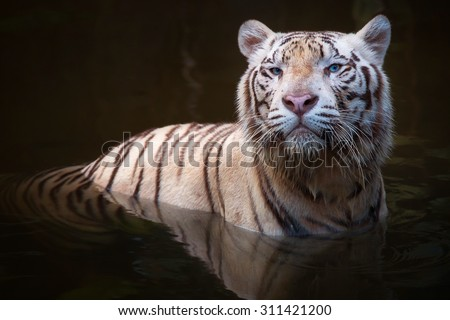 White tiger symbol of  success and might - stock photo