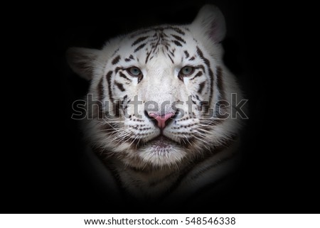 White tiger with blue eyes watching for spoil on black background