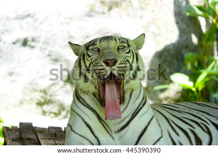 White Tiger yawns and sleeping under the tree,select focus with shallow depth of field