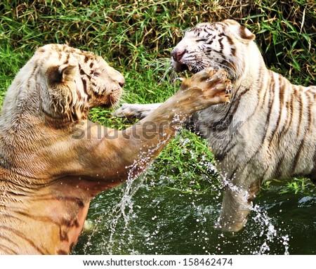 White tigers fighting - stock photo