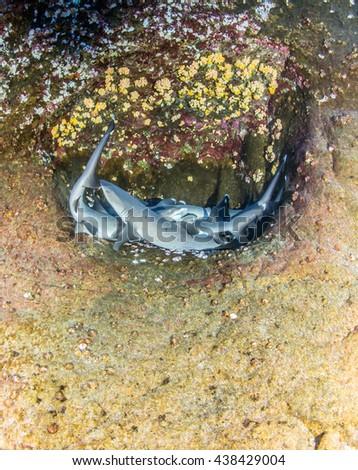 White tip reef sharks - stock photo