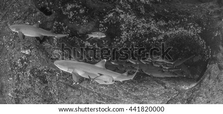 White tip reef sharks in black and white - stock photo