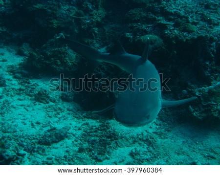 White tip shark - stock photo