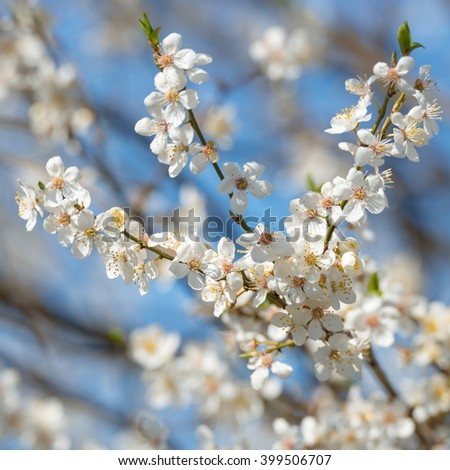 White tree blossoms in spring