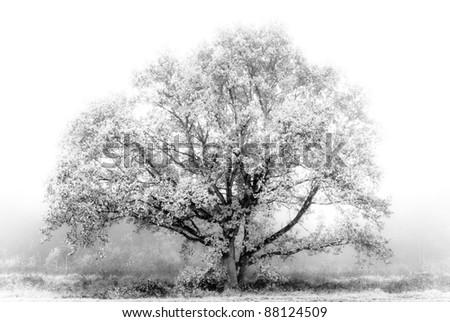 White tree in the mist