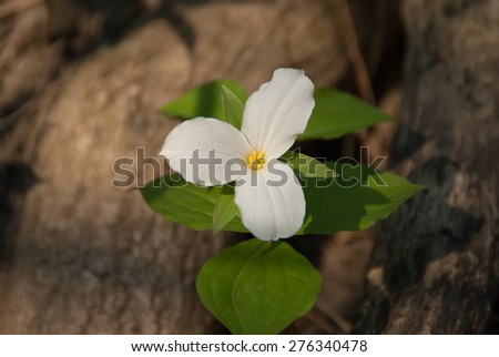 White Trillium Blooming in the Spring  - stock photo
